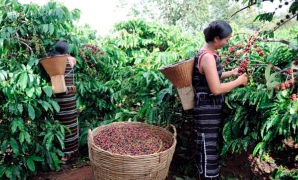Café sostenible